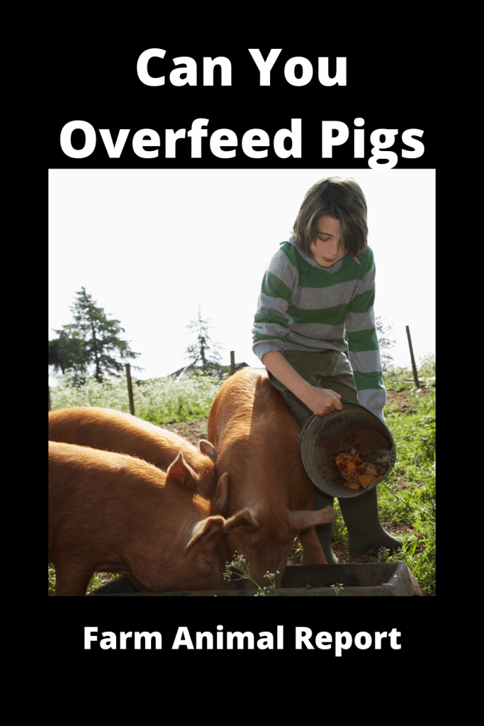 Can You Overfeed Pigs - Video Proof 3