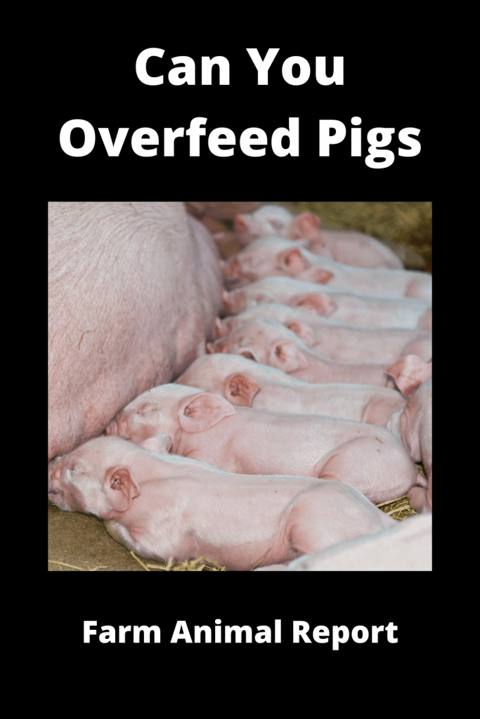 Can You Overfeed Pigs - Video Proof 1