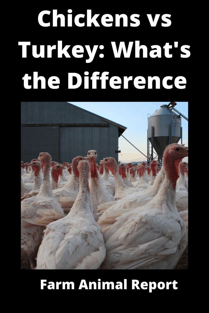 Chickens vs Turkey What's the Difference Anyway 2