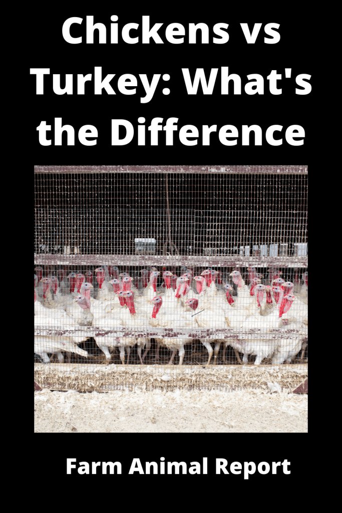 Chickens vs Turkey What's the Difference Anyway 3