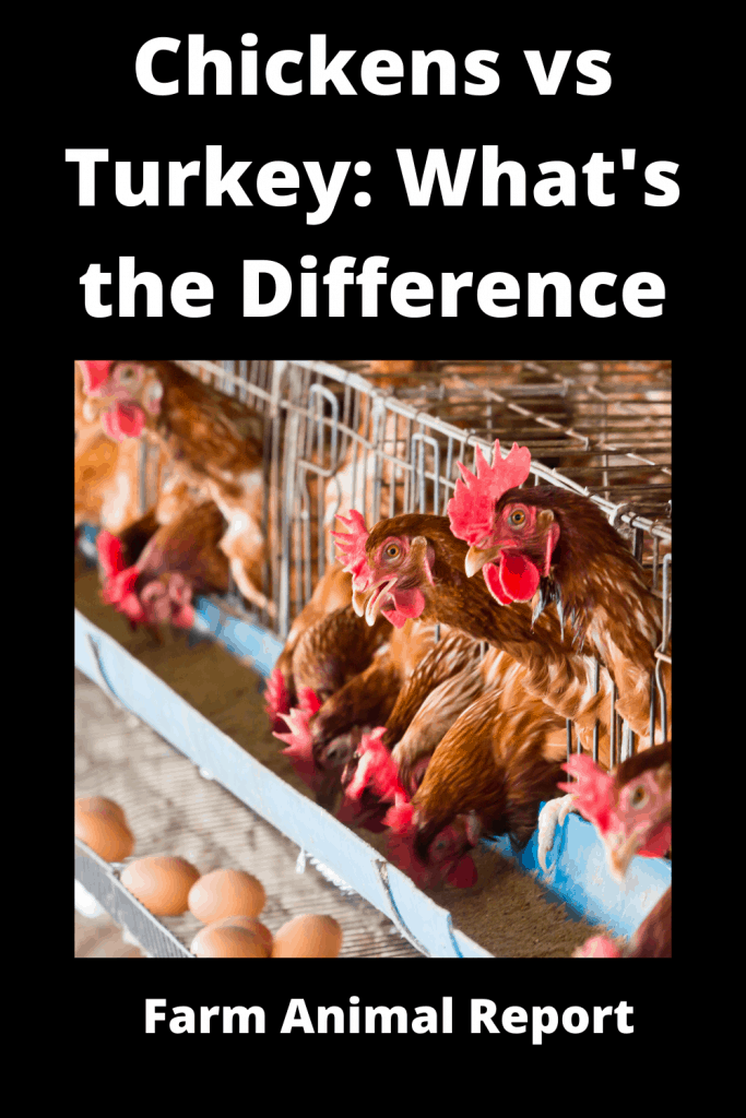 Chickens vs Turkey What's the Difference Anyway 1