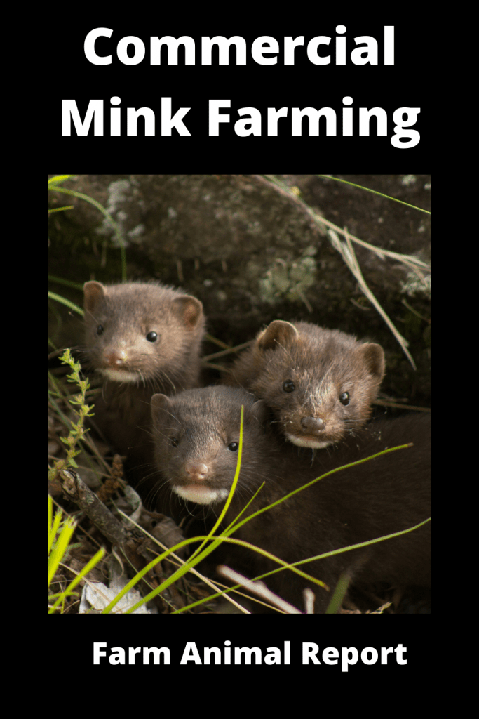 Ultimate Guide Commercial Mink Farming 4