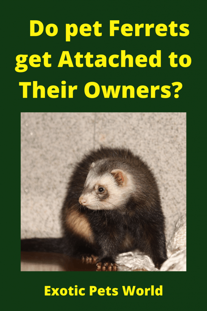 Do pet Ferrets get Attached to Their Owners? 2