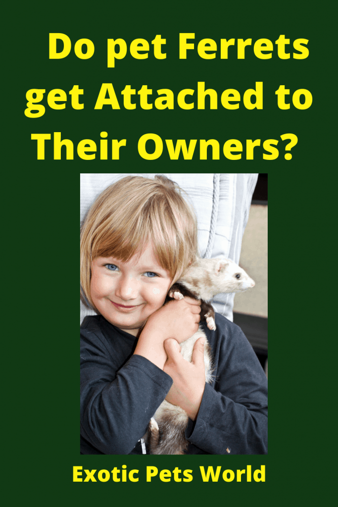 Do pet Ferrets get Attached to Their Owners? 4