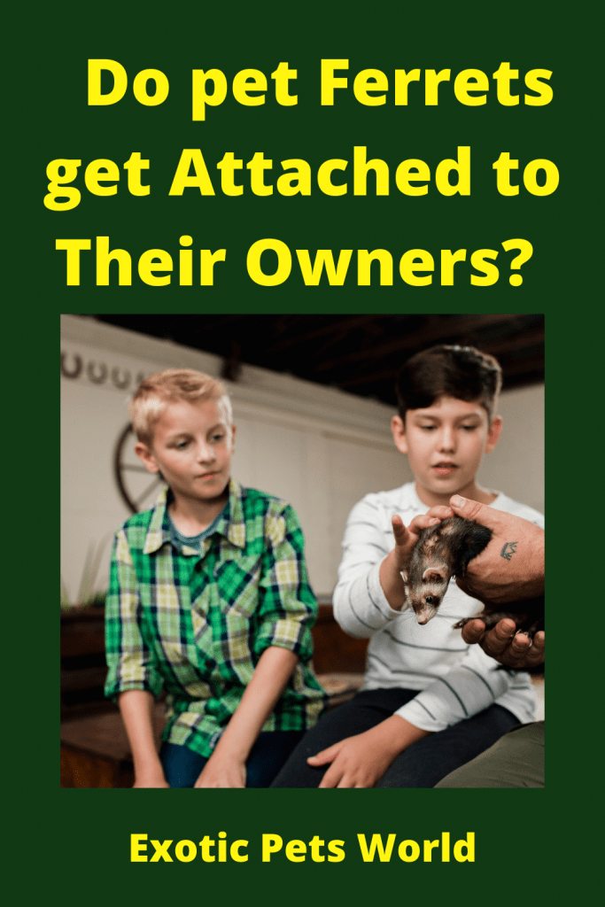Do pet Ferrets get Attached to Their Owners? 6