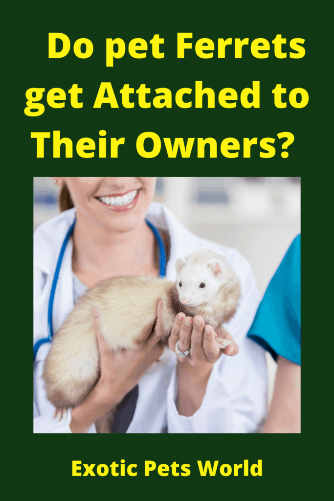 Do pet Ferrets get Attached to Their Owners? 1