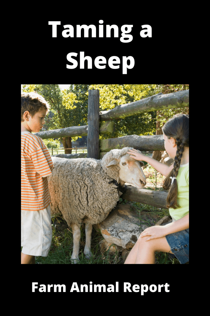 11 Tips on Taming a Sheep 3