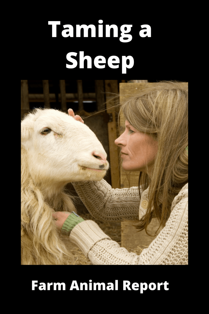 11 Tips on Taming a Sheep 4