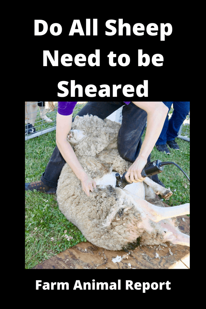 Do All Sheep Need to be Sheared? 500 that Do and 18 that Don't 2