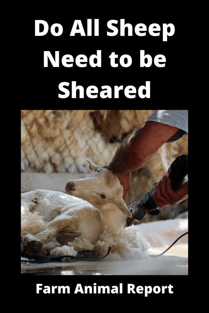 Do All Sheep Need to be Sheared? 500 that Do and 18 that Don't 4