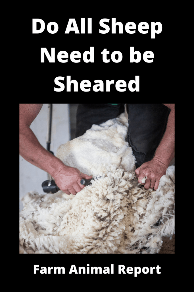 Do All Sheep Need to be Sheared? 500 that Do and 18 that Don't 1