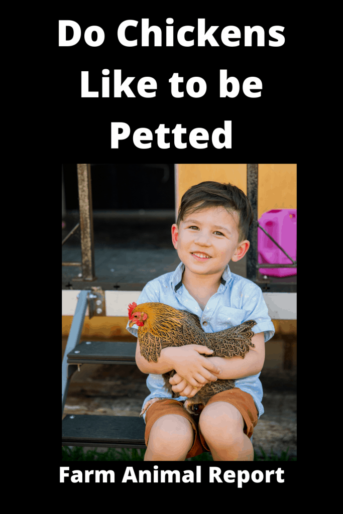 Do Chickens Like to be Petted - Absolutely 2