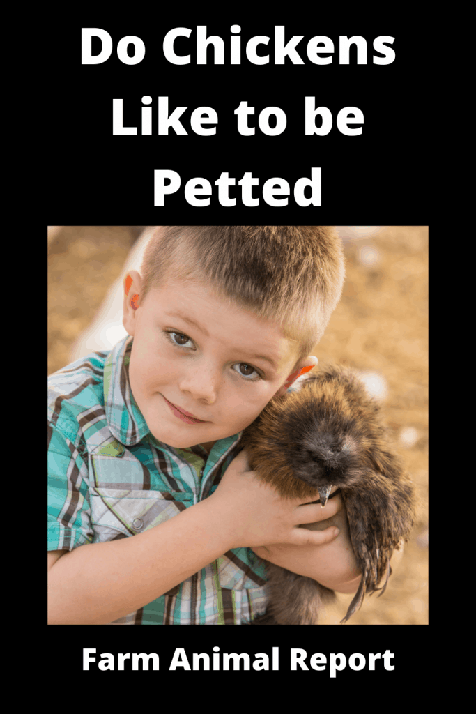 Do Chickens Like to be Petted - Absolutely 4