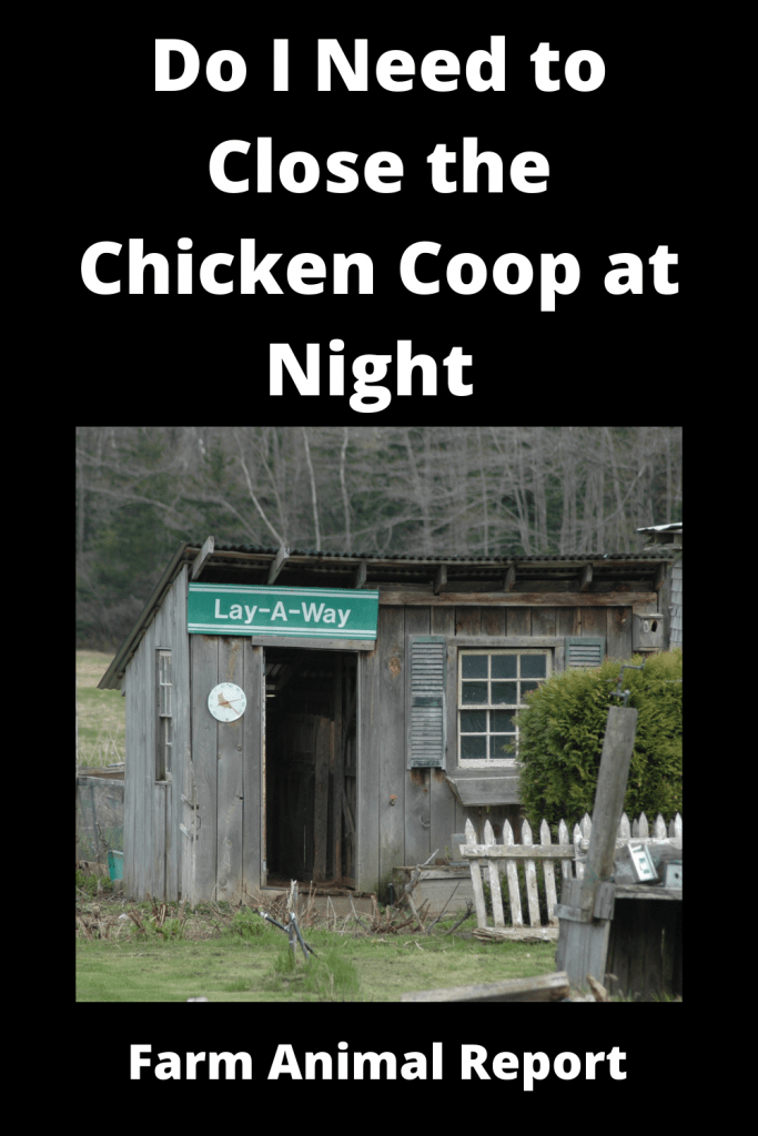 Do I Need to Close the Chicken Coop at Night (with Videos) 2