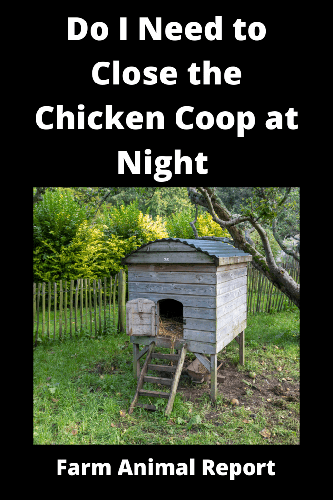 Do I Need to Close the Chicken Coop at Night (with Videos) 4
