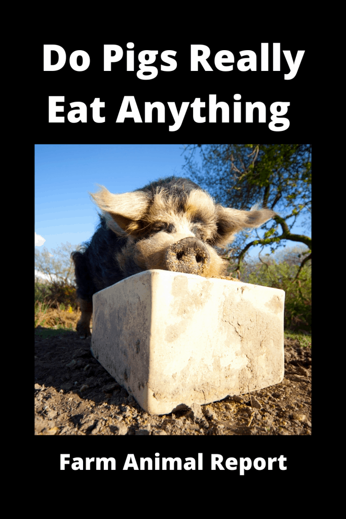Do Pigs Really Eat Anything 2