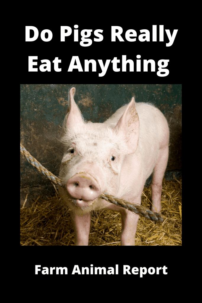 Do Pigs Really Eat Anything 3