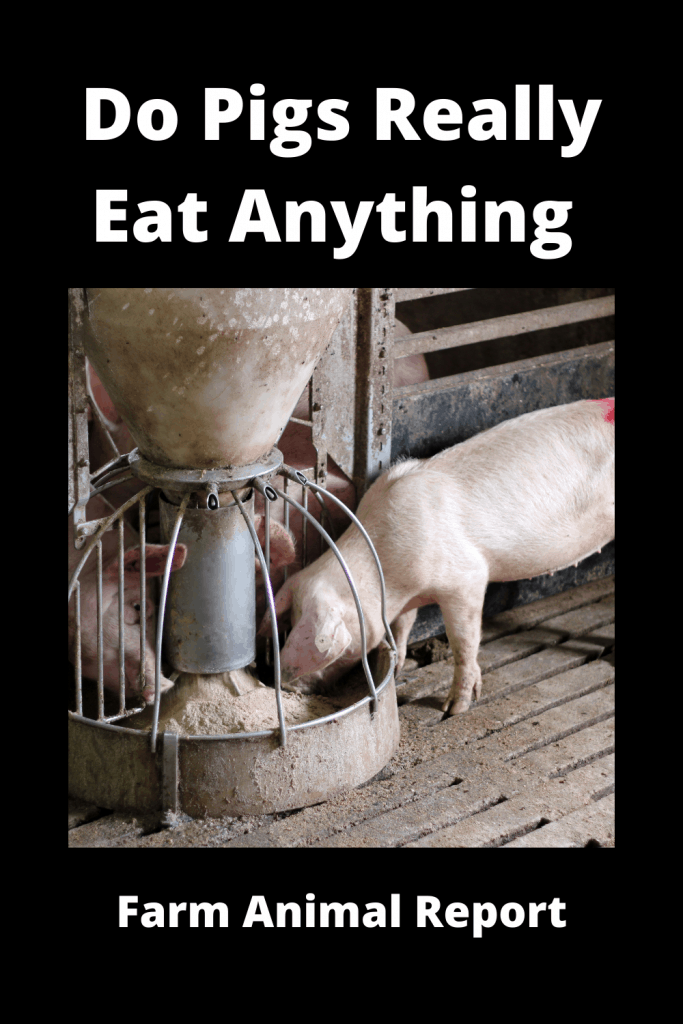 Do Pigs Really Eat Anything 4