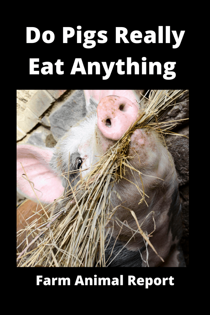 Do Pigs Really Eat Anything 1