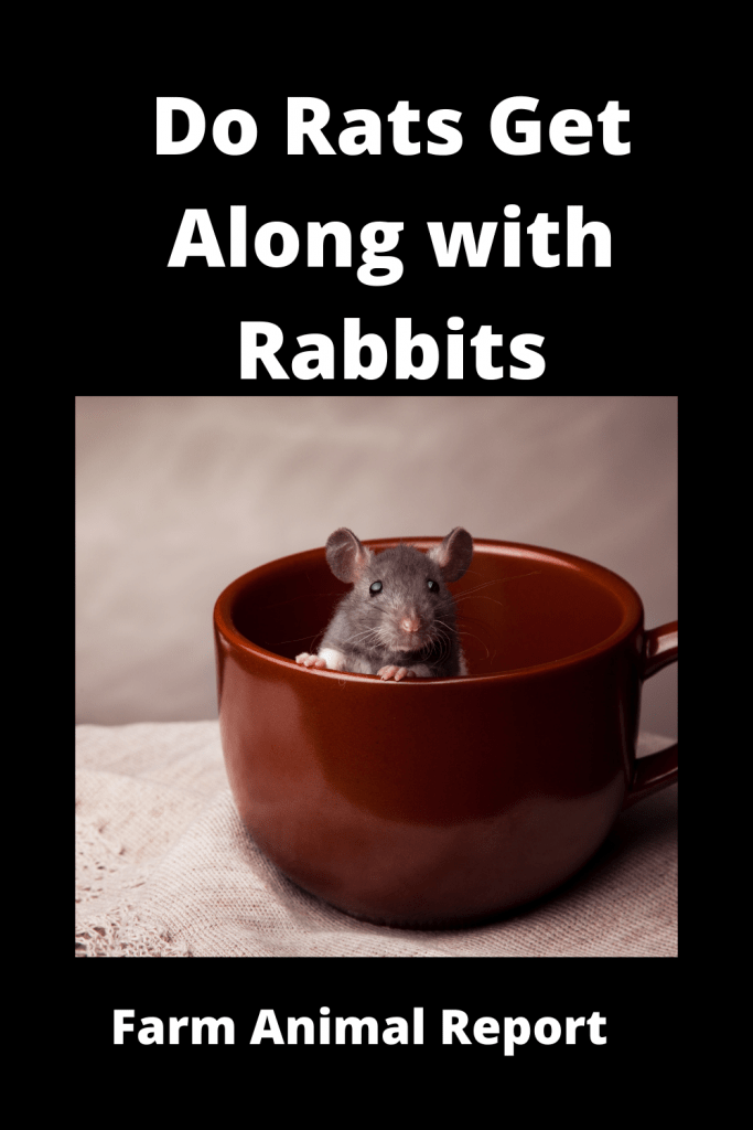 Do Rats Get Along with Rabbits? 1