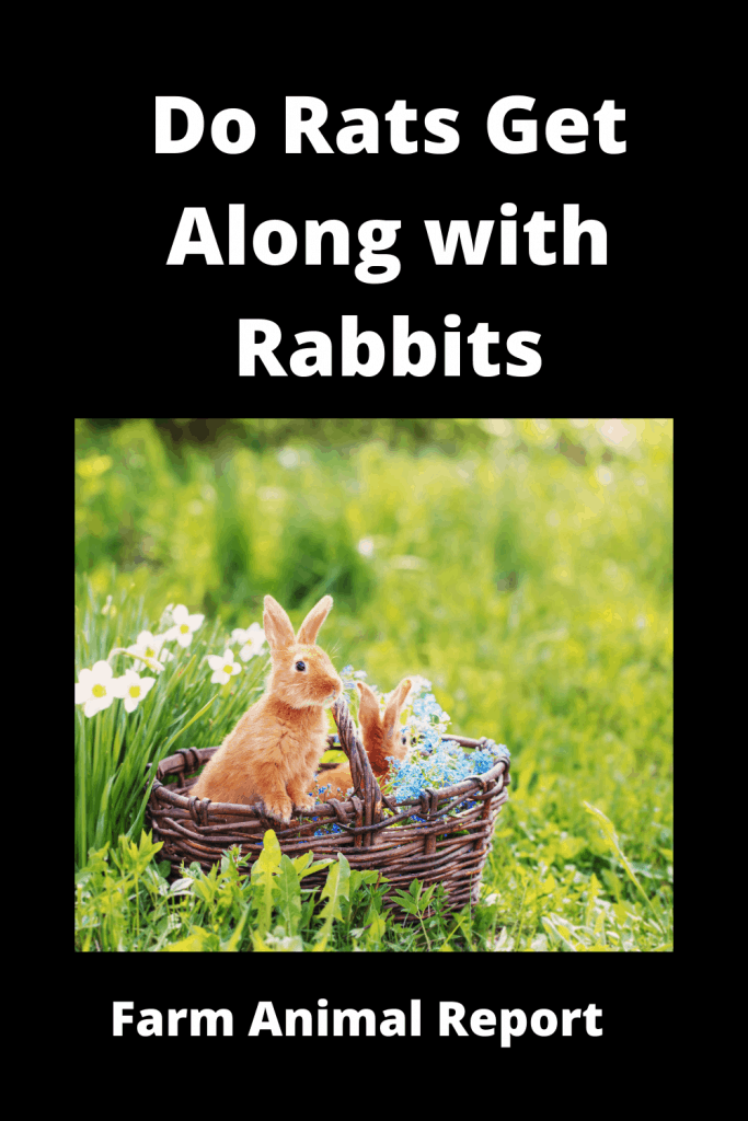 Do Rats Get Along with Rabbits? 2
