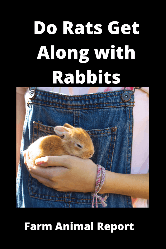 Do Rats Get Along with Rabbits? 3
