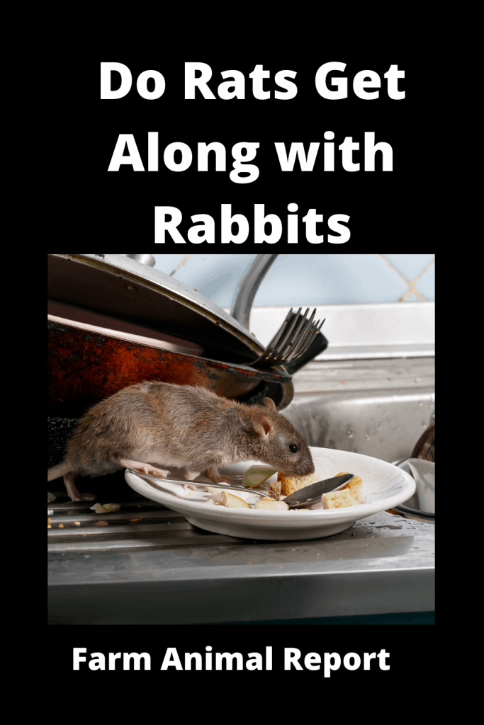 Do Rats Get Along with Rabbits? 4