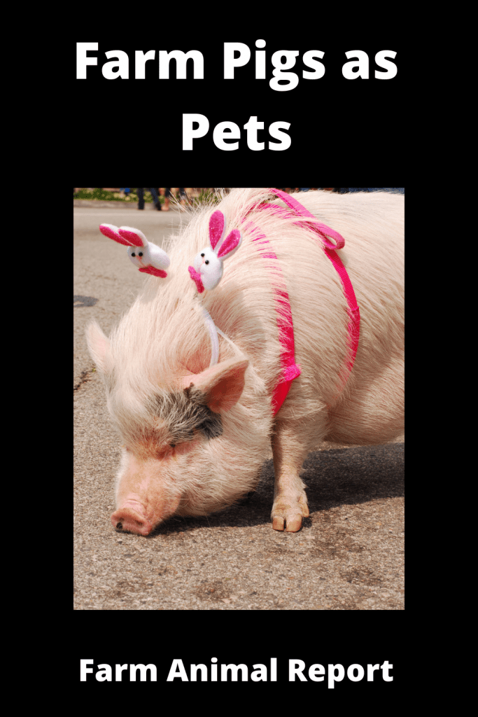 Farm Pigs as Pets - 25 Reasons Why Not 1