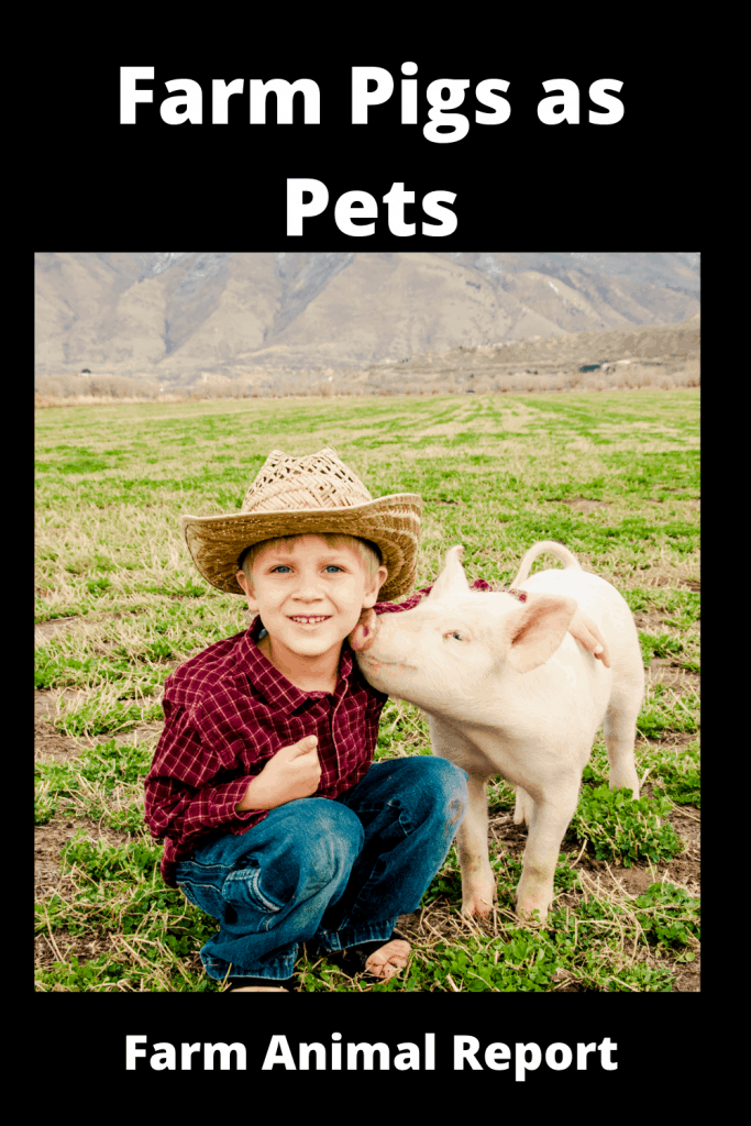 Farm Pigs as Pets - 25 Reasons Why Not 3