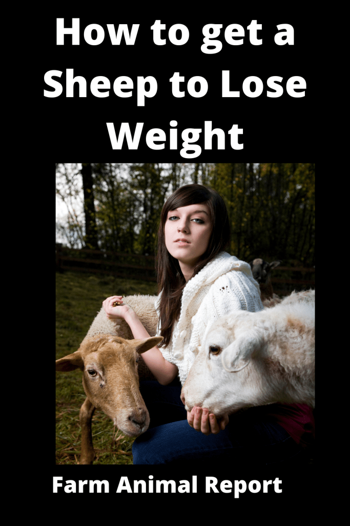 How to get a Sheep to Lose Weight: The Farm Diet 2