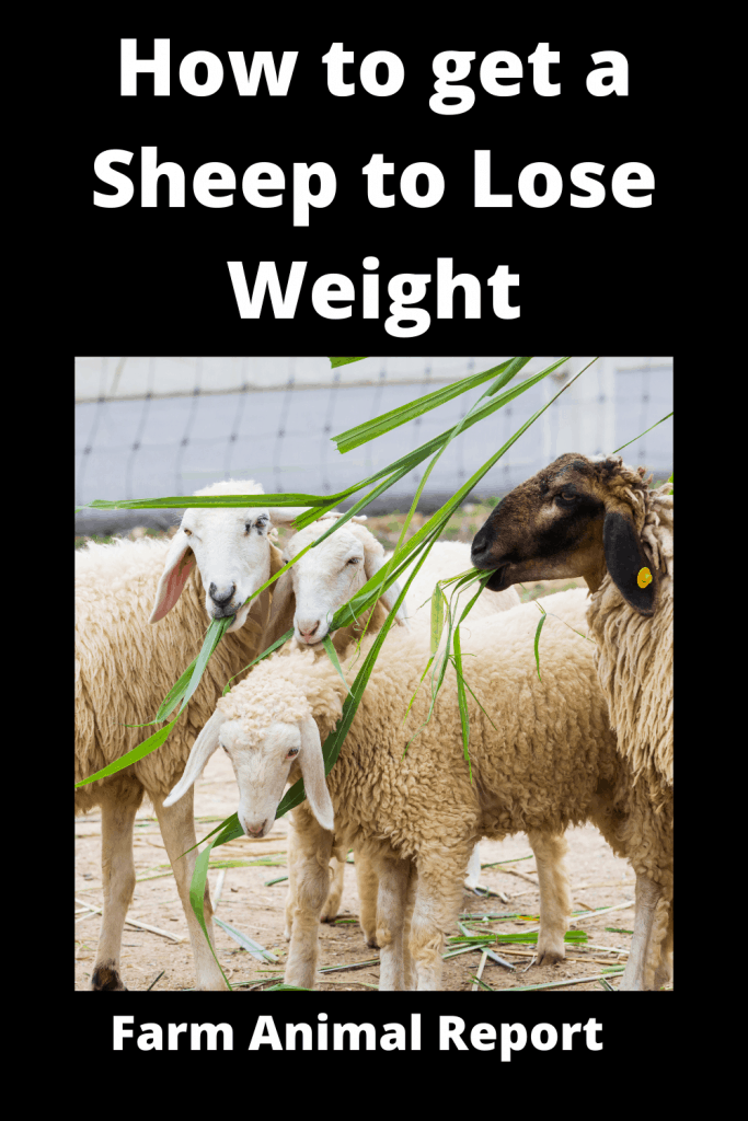 How to get a Sheep to Lose Weight: The Farm Diet 3