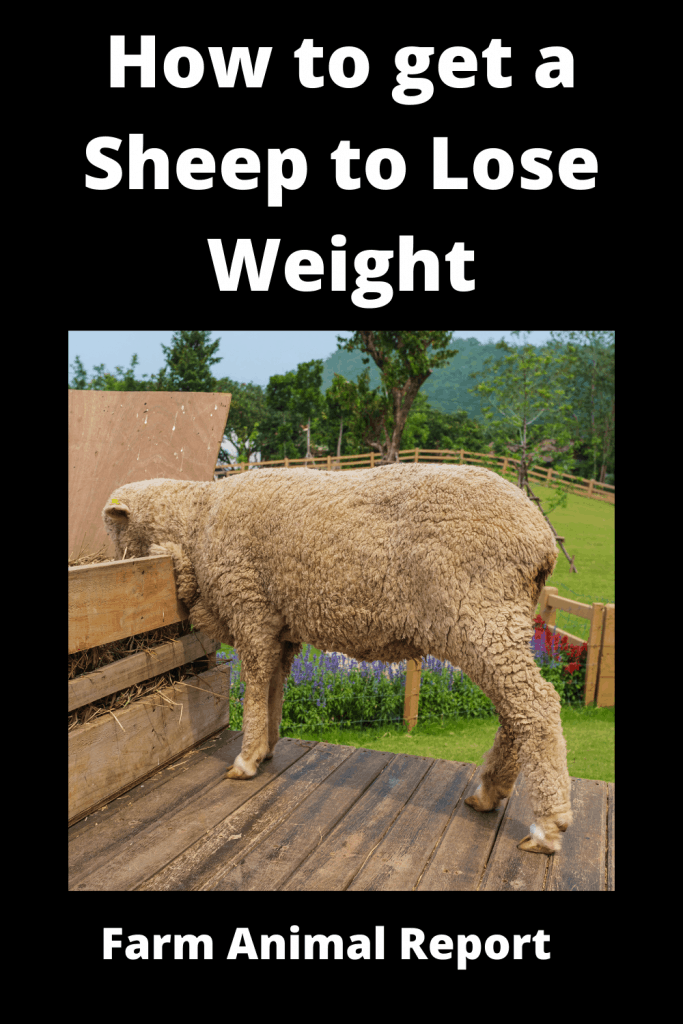 How to get a Sheep to Lose Weight: The Farm Diet 4