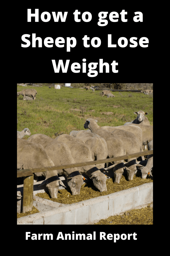 How to get a Sheep to Lose Weight: The Farm Diet 1
