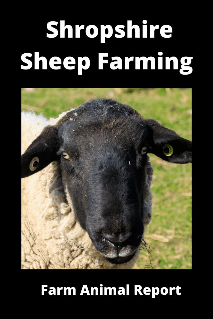 Ultimate Guide Shropshire Sheep Farming 1