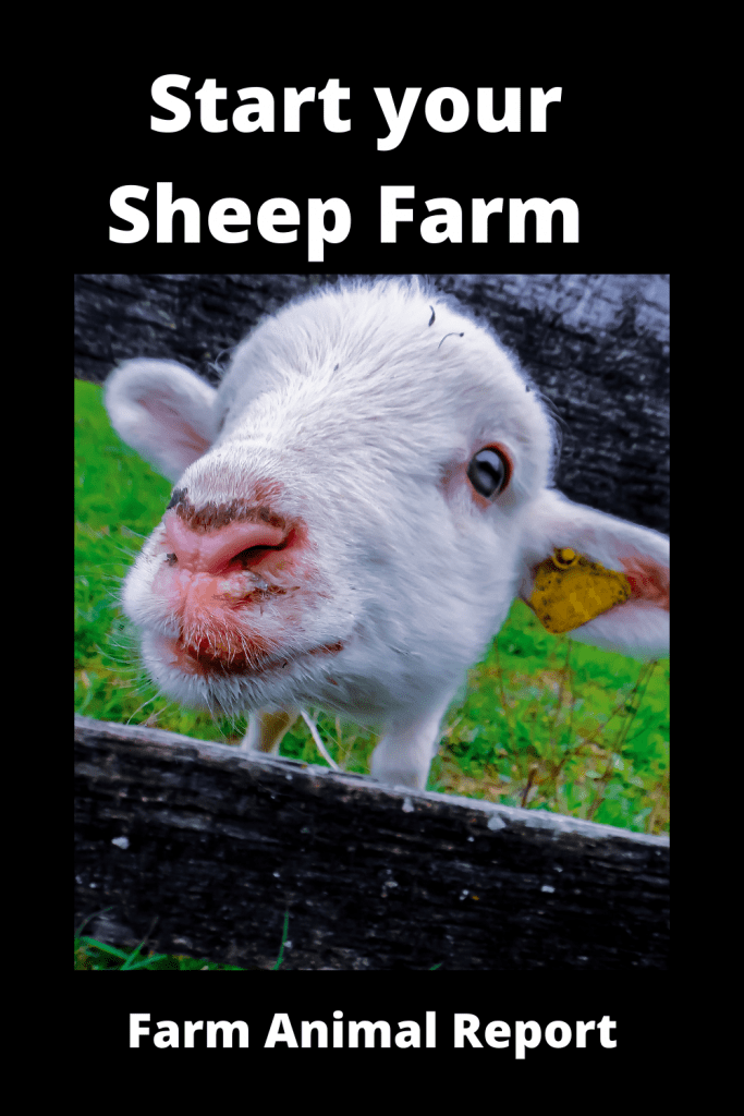 Start your Sheep Farming with First Flock of Sheep? 2