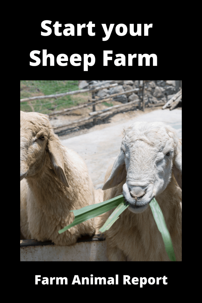 Start your Sheep Farming with First Flock of Sheep? 3