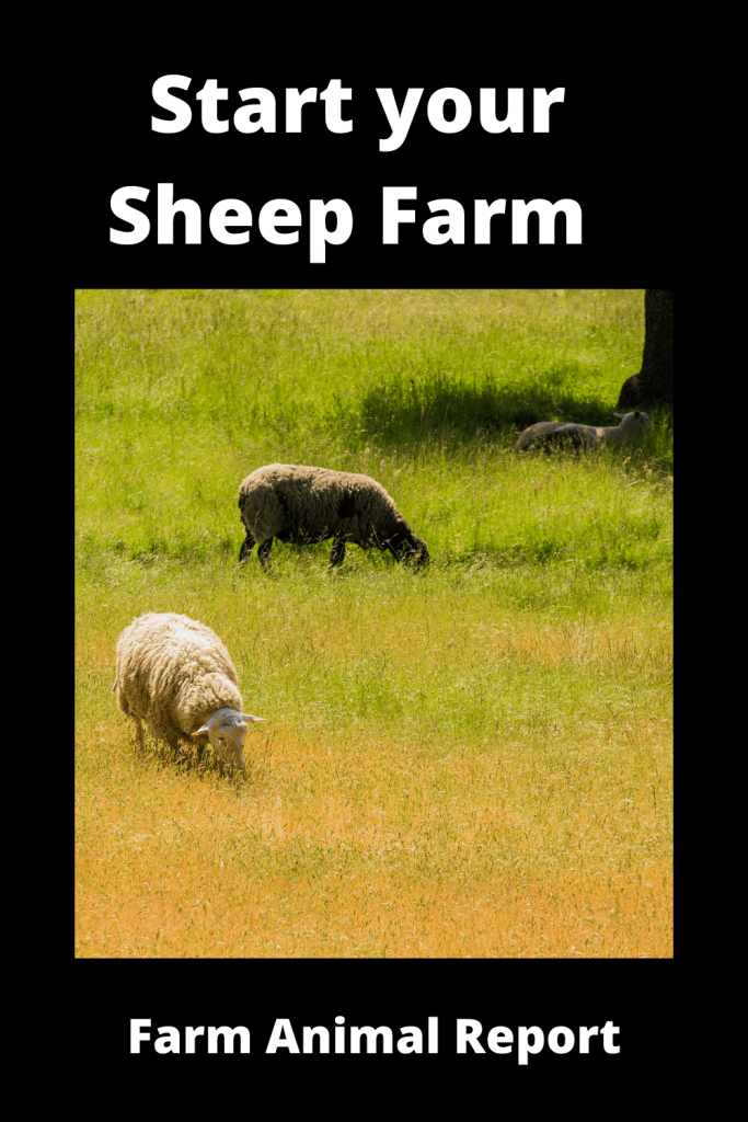 Start your Sheep Farming with First Flock of Sheep? 4