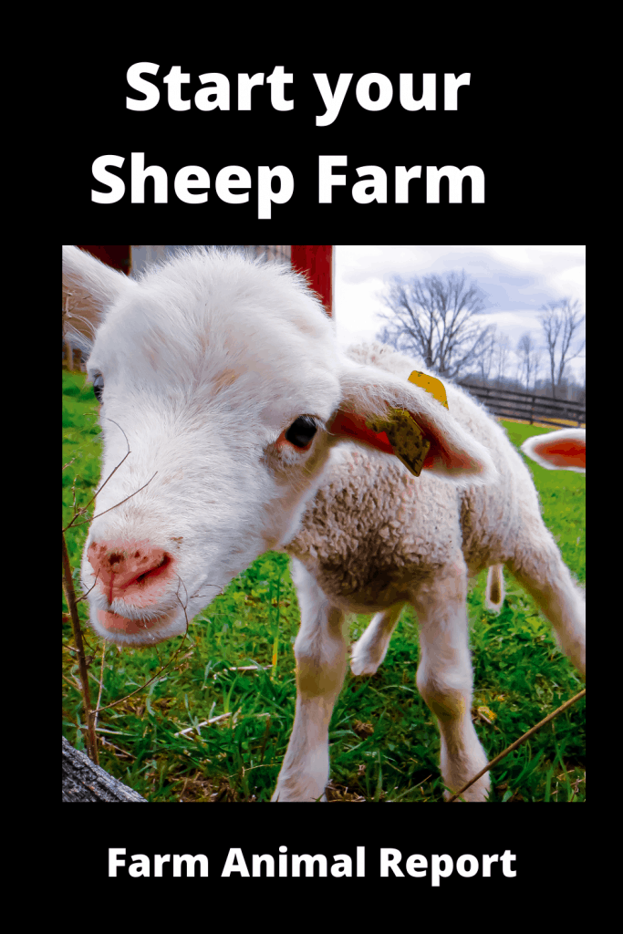 Start your Sheep Farming with First Flock of Sheep? 1