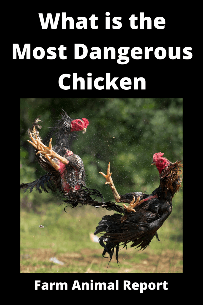 What is the Most Dangerous Chicken ( With 4 Videos) 2