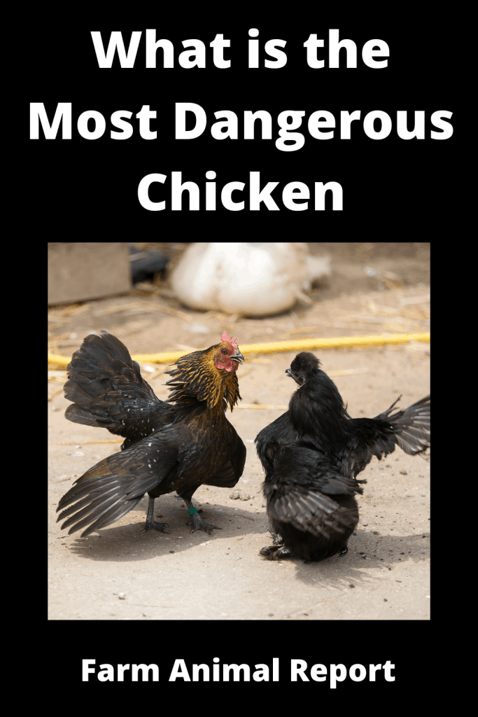 What is the Most Dangerous Chicken ( With 4 Videos) 3