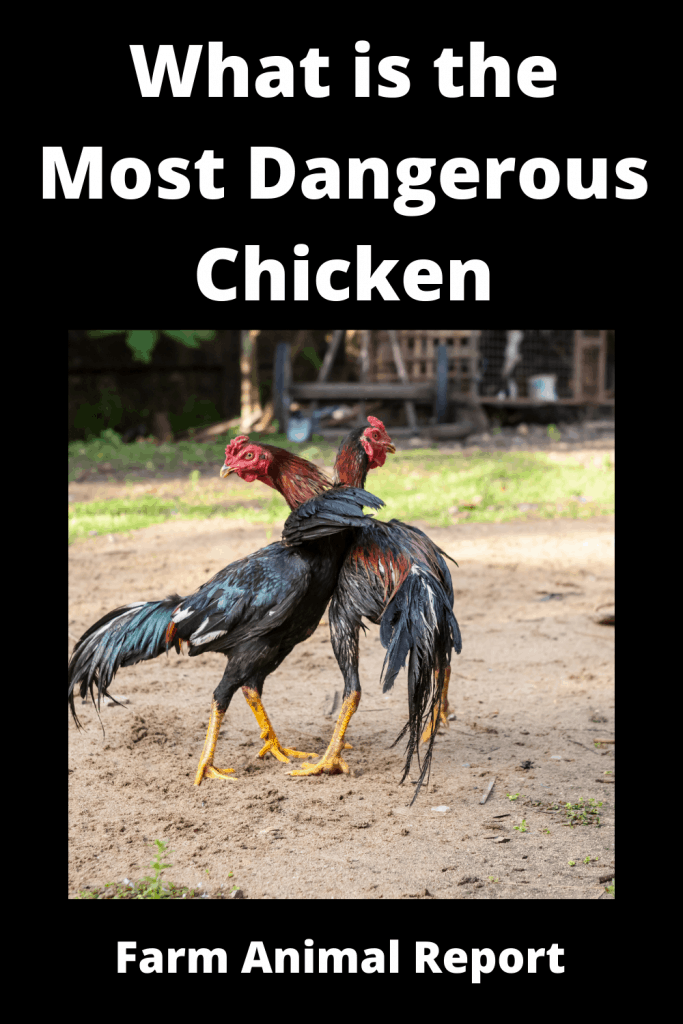 What is the Most Dangerous Chicken ( With 4 Videos) 4