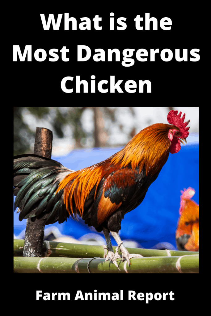 What is the Most Dangerous Chicken ( With 4 Videos) 1
