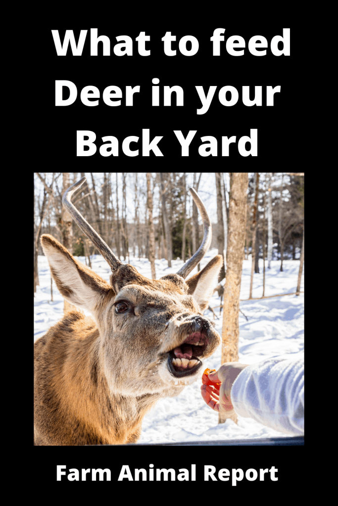 What to feed Deer in your Back Yard 2