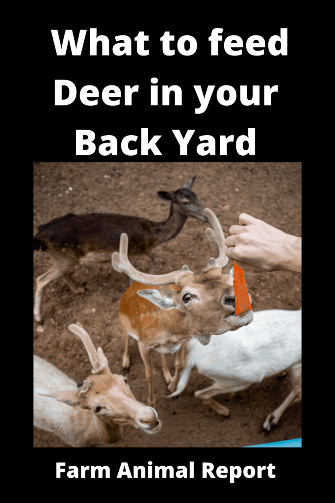 What to feed Deer in your Back Yard 4