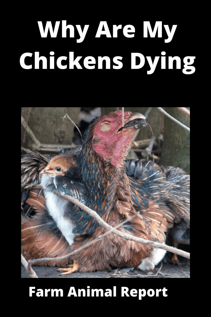 Why Are My Chickens Dying - 15 Reasons 2