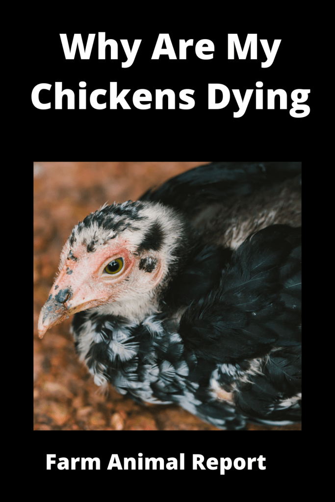 Why Are My Chickens Dying - 15 Reasons 3