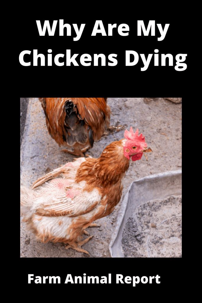 Why Are My Chickens Dying - 15 Reasons 4
