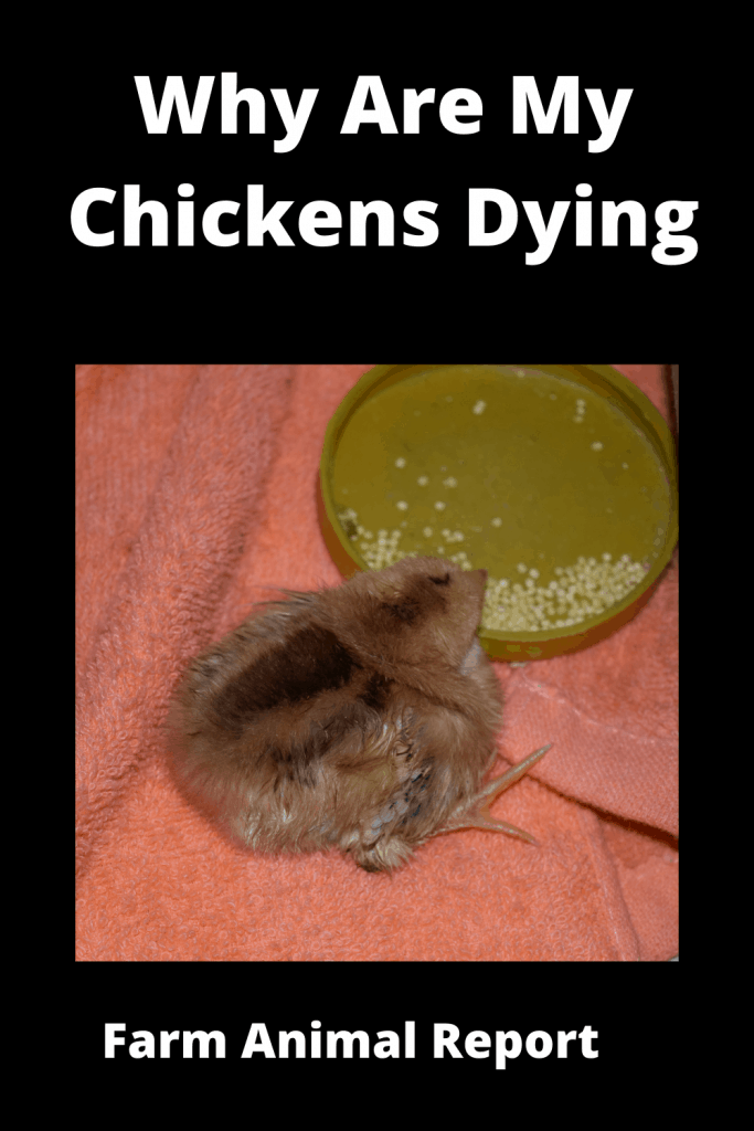 Why Are My Chickens Dying - 15 Reasons 1