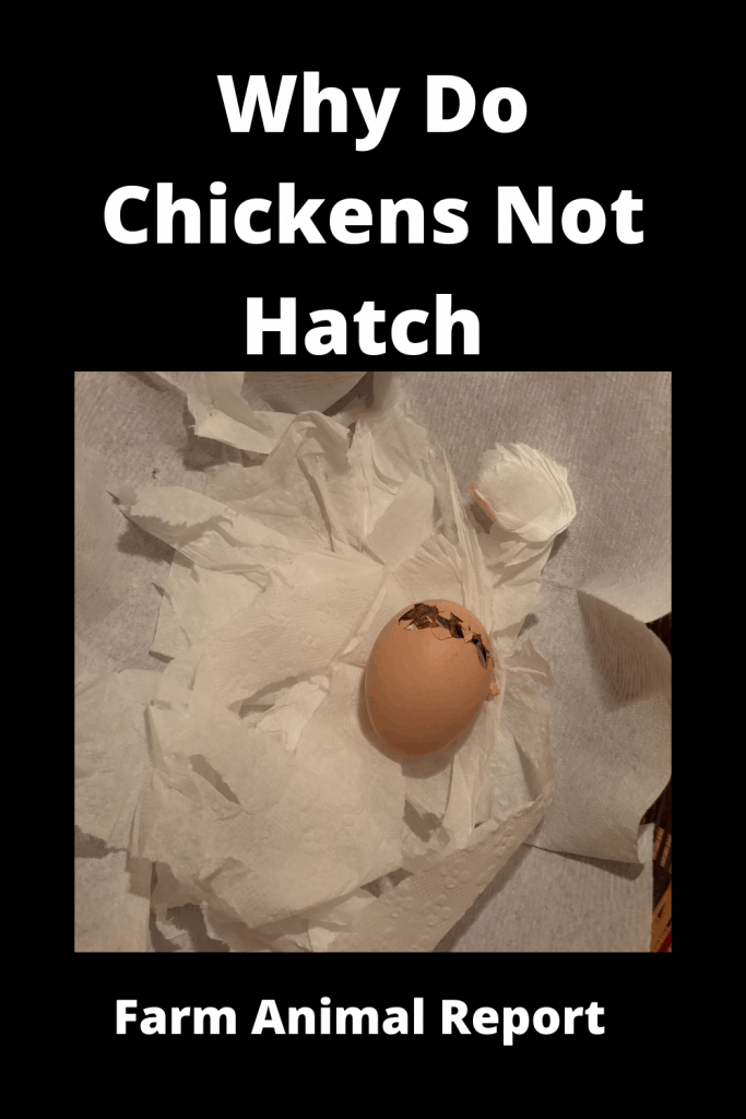 Why Do Chickens Not Hatch (With Videos) 2