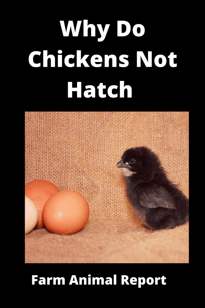 Why Do Chickens Not Hatch (With Videos) 3